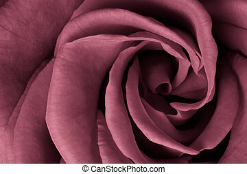 pink rose - close up of pink rose