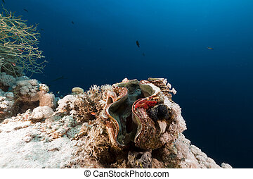 Giant clam in the Red Sea