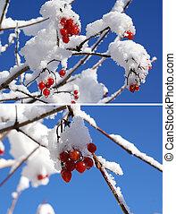 viburnum - ripe viburnum   mountain ash branch in snow