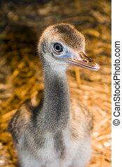 Greater rhea (Rhea americana) chick