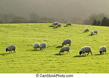 Sheep grazing in a lush green grass field in Wales UK.