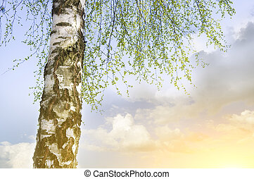 birch tree on blue sky background