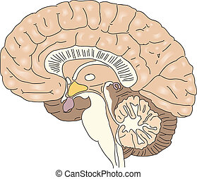 The human brain - Cross-section of the human brain. Vector...