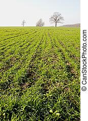 winter crop field in autumn