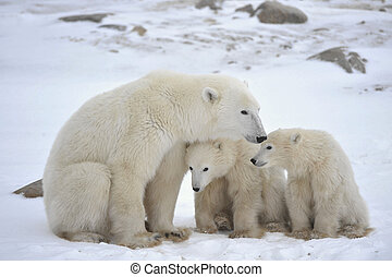 Polar she-bear with cubs The polar she-bear with two kids on...