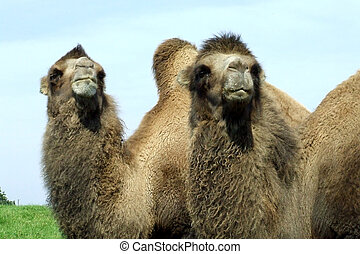 camels - A pair of camels