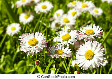 Camomiles on a field  - white Camomiles on a green field