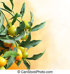 Kumquat tree with fruit and leaves over background with copy...