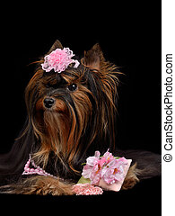 Glamour Yorkie dog with pink items, isolated on black
