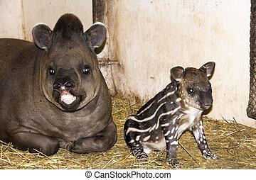Baby lowland tapir (Tapirus terrestris)