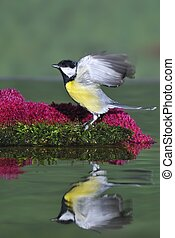 Great tit. - Great tit in the trough.