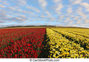 A field of red and yellow ranunculus