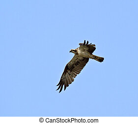 Osprey - Migratory Osprey in The Gambia flying in search of...