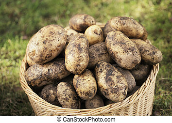 Potato harvest - Harvested potatoes in a woven wicker...