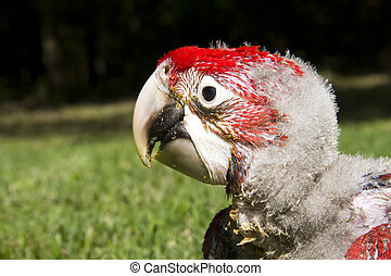 Red-and-green macaw chick - Red-and-green macaw (Ara...