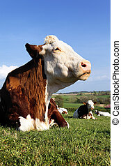 cow life - big head of beautiful cow in a field