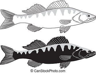 Fish - Pike perch - Pike perch - black and white vector...