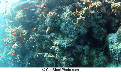 Underwater view - Tropical coral reef and fishes on Red Sea.