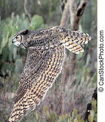 Owl in flight - Great Horned Owl in flight
