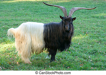 Billy goat - A black white billy goat in the meadow