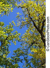 Treetops - Shiny green treetops and a blue sky