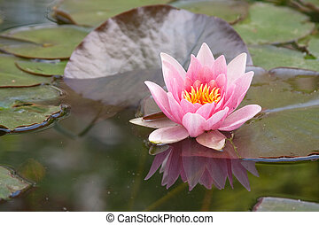 nymphaea with water reflection