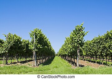 Viticulture - Symmetric photo of vinculture with a blue sky