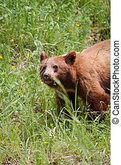 grisly bear in summer - view of the grisly bear in grass...