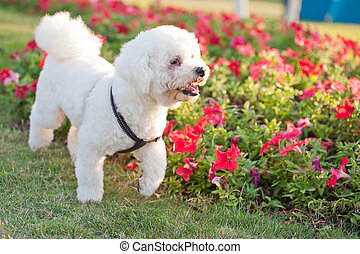 Poodle dog - A little poodle dog walking on the lawn