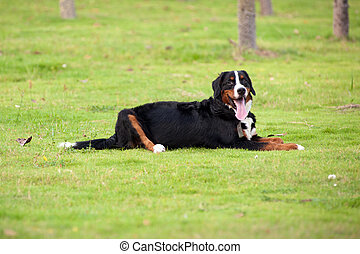 Bernese mountain dog lying on the lawn