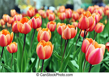 red tulips - great amount of red tulips. tulips in typical...