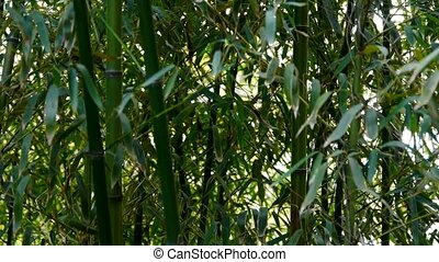 wind shaking bamboo