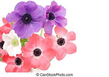 Anemone - Three color anemone flowers on a white background