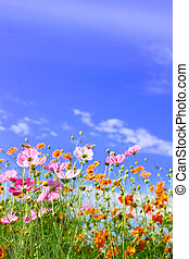 Cosmos Flowers against blue sky