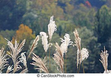 Susuki Japanese pampas grass
