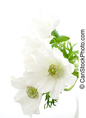 Anemone - White anemone flowers on a white background