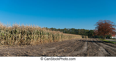 maize field - partly harvested maize field under a clear...