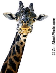 Giraffe peering down at the photographer's camera.