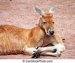 kangaroo - Big red kangaroo resting sunlit