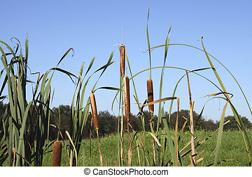 Reed  - low angle view on water plants in natural area