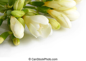 White freesia - Closeup of white freesia on a white...