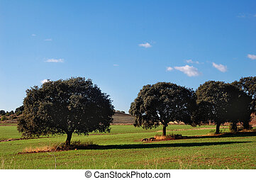 Oaks in a field
