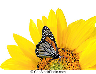 Butterfly on yellw suflower - yellow sunflower with...