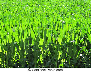 Cornfield - cornfield, corn plantation agricultural holding