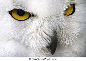 Closeup snow owl - Closeup of a snow owl with yellow eyes