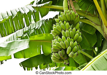 vert, jeune, banane