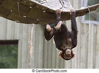 Playing chimpanzee - Playful chimpanzee hanging upside down...