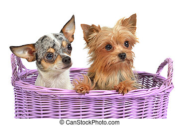 Cute dogs in a wicker basket, isolated on white