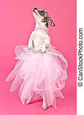 Chihuahua ballerina dancing, against pink background