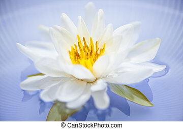 Lotus flower - White lotus flower or water lily floating